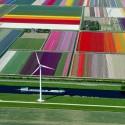 thumbs tulip fields holland