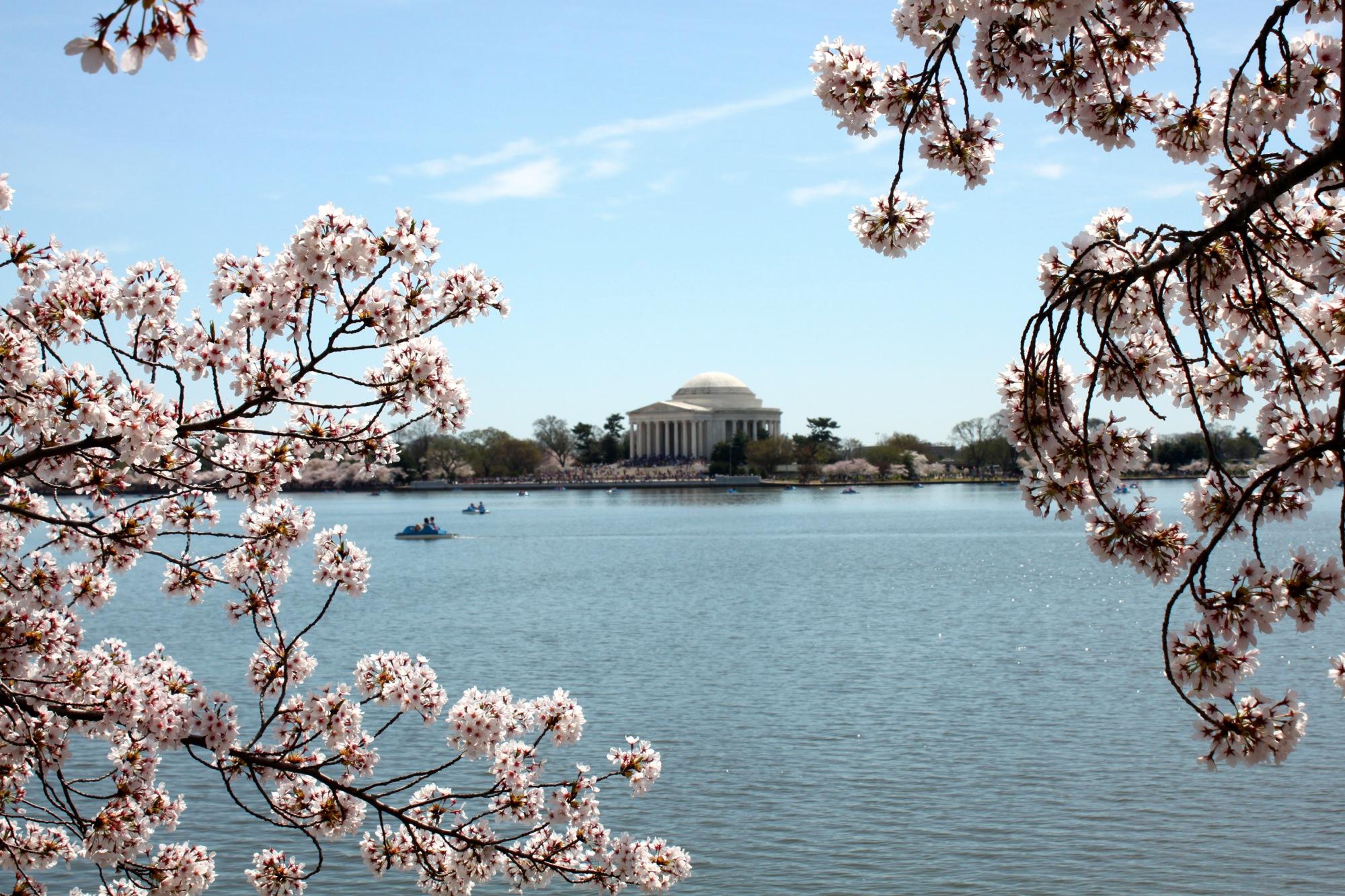 cherry blossom festival - HD2000×1333