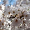 cherry-blossoms-03