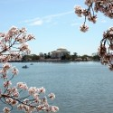 cherry-blossoms-08