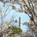 cherry-blossoms-28