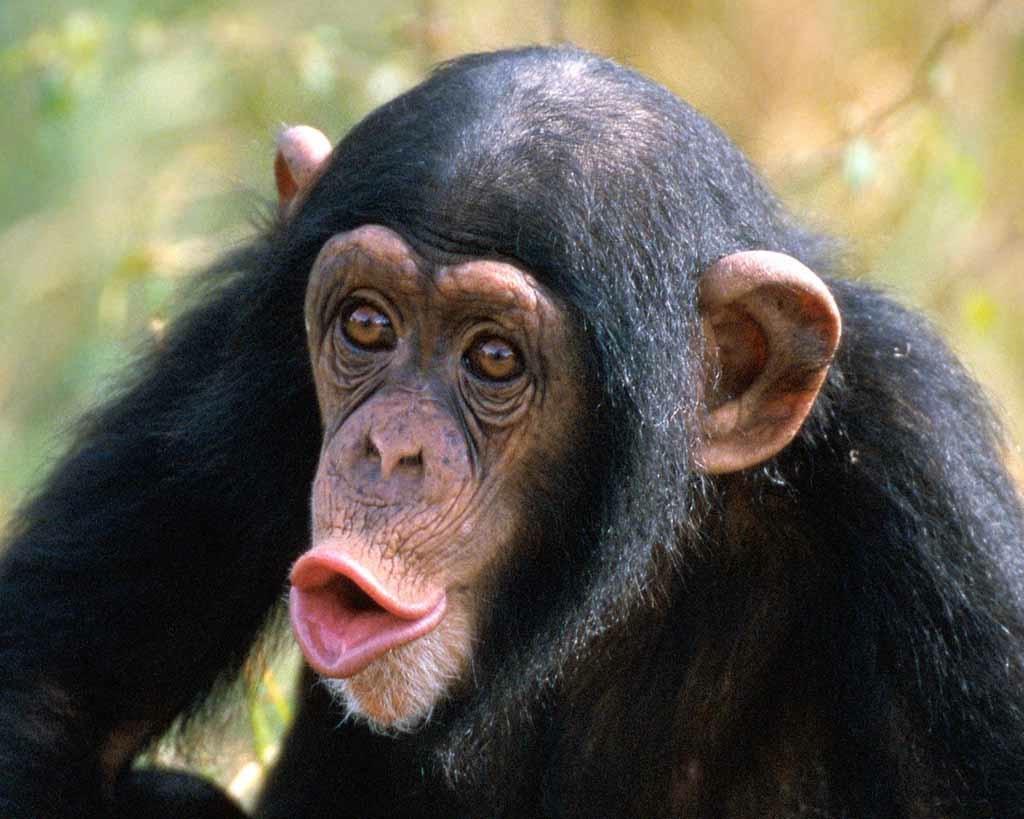 Chimps Attack!