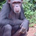 chimp_02.jpg