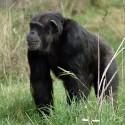 chimp_04.jpg