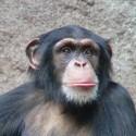 chimp_05.jpg