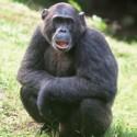 chimp_06.jpg