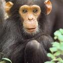 chimp_09.jpg