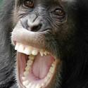 chimp_10.jpg