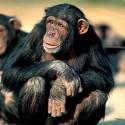 chimp_13.jpg