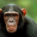 chimp_15.jpg