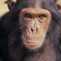 chimp_17.jpg