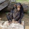 chimp_20.jpg