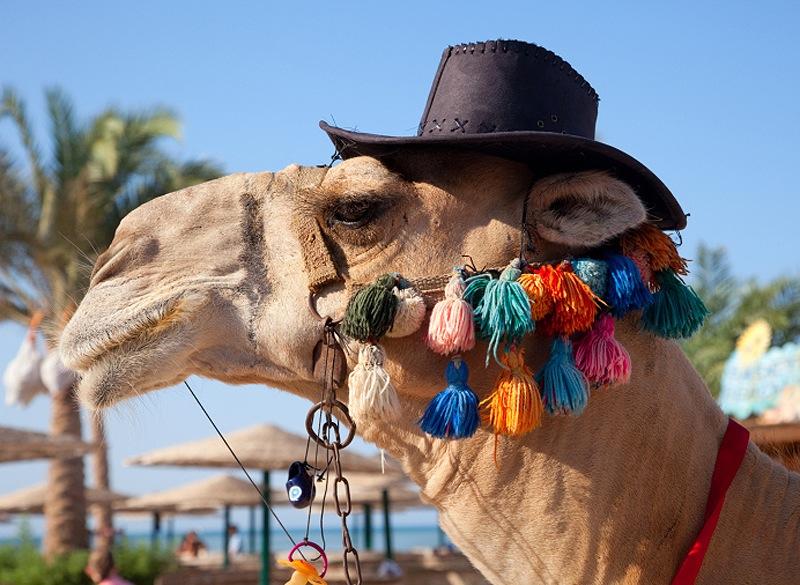 Funny Camel Photos