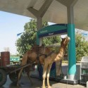 funny-camel-photo-01