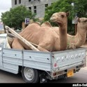 funny-camel-photo-03