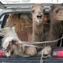funny-camel-photo-05