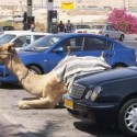 funny-camel-photo-06