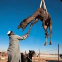 funny-camel-photo-12