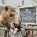 funny-camel-photo-14