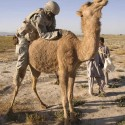 funny-camel-photo-16