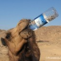 funny-camel-photo-17