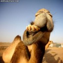 funny-camel-photo-18