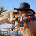 funny-camel-photo-20