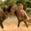 funny-camel-photo-21