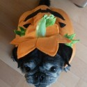 pets-in-costumes-72