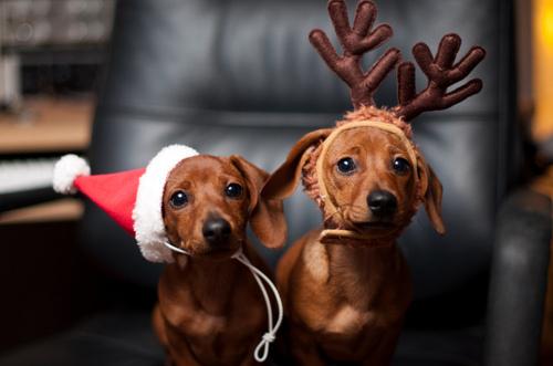 Puppies in Santa Hats