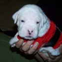 thumbs puppies wearing santa hats 12