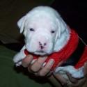 thumbs puppies wearing santa hats 12