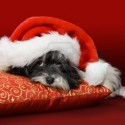 thumbs puppies wearing santa hats 14