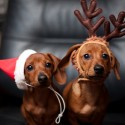 thumbs puppies wearing santa hats 15