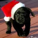 thumbs puppies wearing santa hats 16