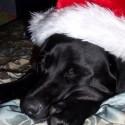 thumbs puppies wearing santa hats 19