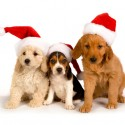thumbs puppies wearing santa hats 2