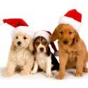 thumbs puppies wearing santa hats 2