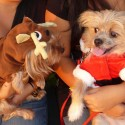 puppies-wearing-santa-hats-3