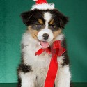thumbs puppies wearing santa hats 4