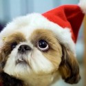 thumbs puppies wearing santa hats 5