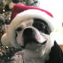 thumbs puppies wearing santa hats 7