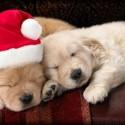 thumbs puppies wearing santa hats