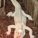st-augustine-alligator-farm-11