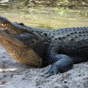 st-augustine-alligator-farm-7