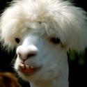 Ugly-llama